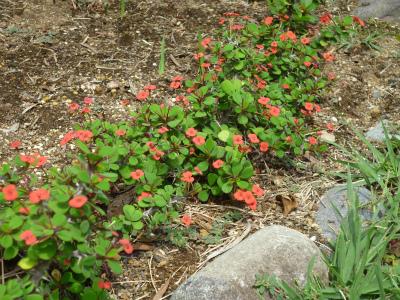 s-庭の花キリン.jpg