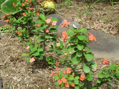 s-庭の花キリン2.jpg